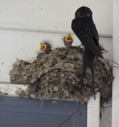Swallows under eaves
