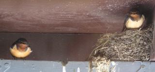 swallows-nesting-004.jpg
