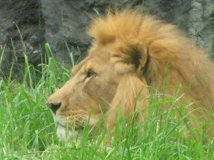 Lion at Seattle Zoo