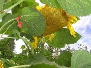 Beans climbing on sunflowers