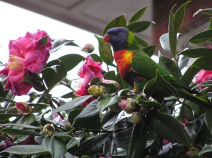 Rainbow lorrikeet on Camelias