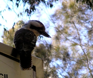 Kookaburra sits on an old gum tree (or anything else)