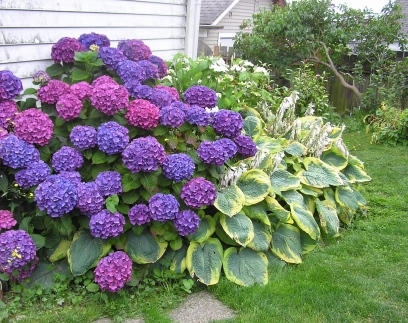 Hydrangeas obscure the path