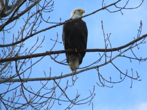 Bald eagle, Tsawwassen B.C.
