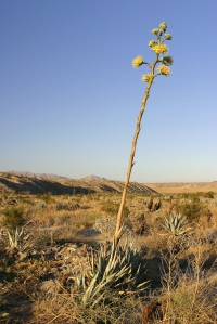 Agave_parryi_in_flower_at_Anza-Borrego