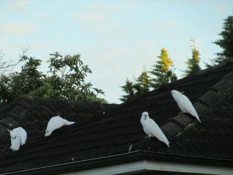 Cockatoos on roof