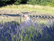 latitudes of Lavender labyrinth