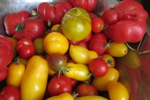Abundant tomatoes for BLTs and salads