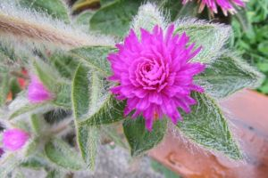 Gomphrena covered in dew