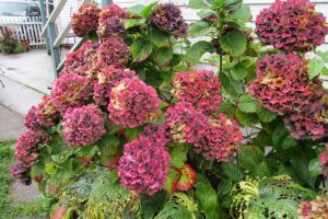 Autumn hydrangea surprise